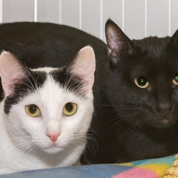 A white cat with some black on her head sits next to an all back cat