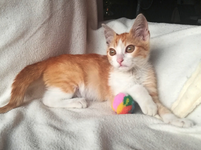A young orange and white kitten with huge eyes is sitting on a white bed holding a colourful ball.