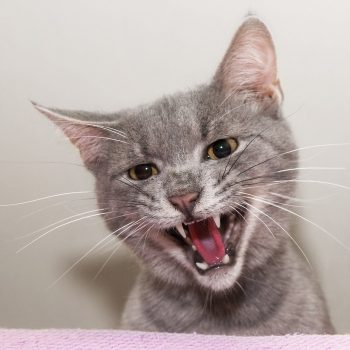 A silver-grey cat reacting to something verbally.