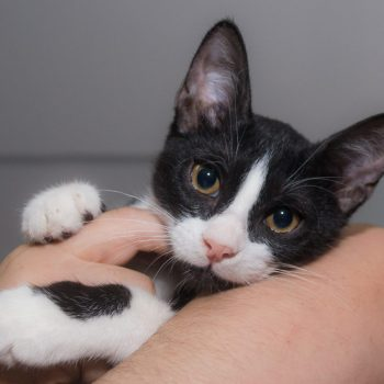 A cute black and white kitten is posing for the camera while hugging a woman's arm.