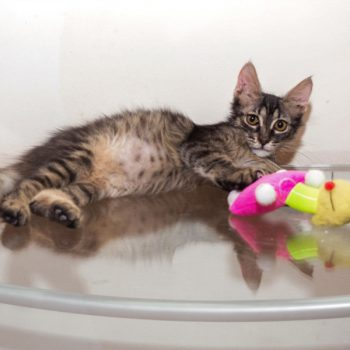 A tabby kitten sitting with a colorful toy on a glass table.