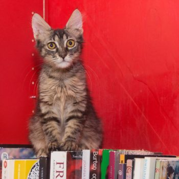 A pretty and fluffy tabby kitten is sitting on top of books on a bookcase with red background.