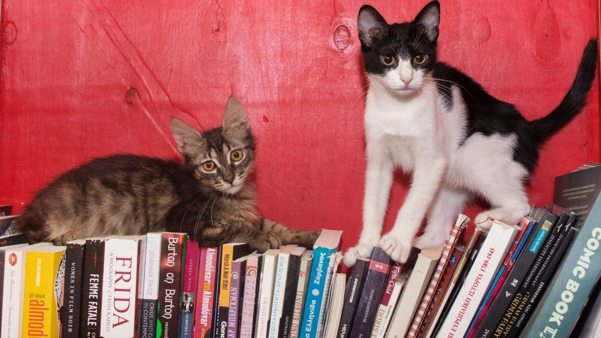 Two kittens, one a tabby and the other black and white, sit on books in a bookcase.