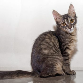 A beautiful fluffy tabby kitten poses for the camera
