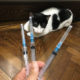 A hand holding 3 syringes in front of the black and white cat they are meant for.