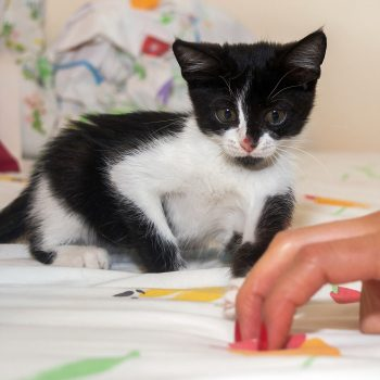 A beautiful black and white kitten with a black goatee considers pouncing on some human fingers.