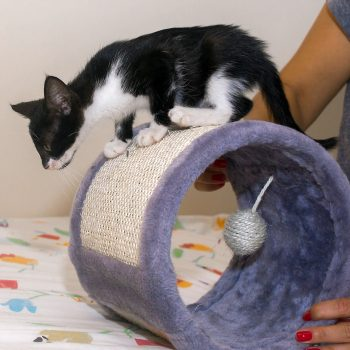 A very cute black and white kitten on top of a cat's play tunnel, preparing to leap onto the surface.