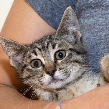 A young tabby kitten is held by a human.