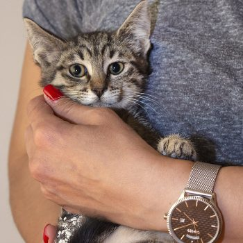 A tiny tabby kitten is held in a human's arms