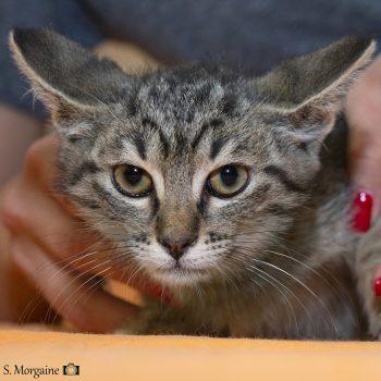 A closeup of a young tabby kitten.