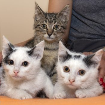 Three young kittens remarkably sitting still in a formation to have their picture taken!