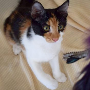 A gorgeous calico kitten is preparing to attack a toy that's dangling in front of her.