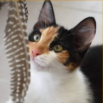 A beautiful calico kitten is looking at something dangling in front of her and planning her line of attack!