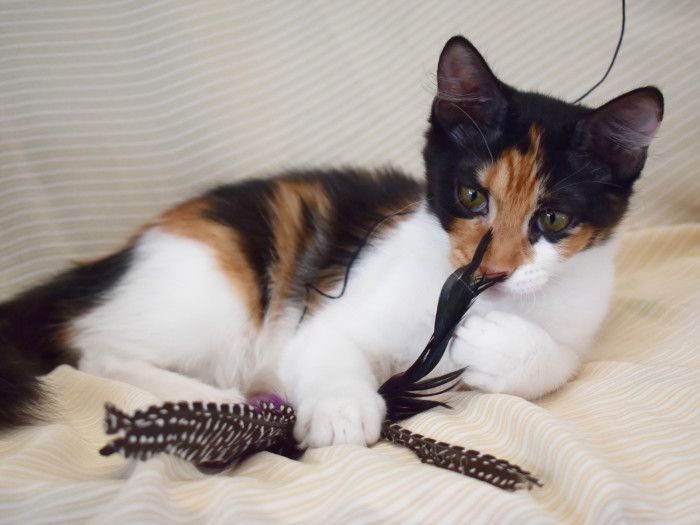 A pretty calico kitten playing with a toy with feathers
