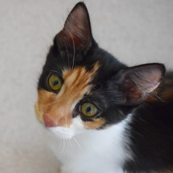 A closeup of a beautiful calico kiten looking inquiringly at the camera.