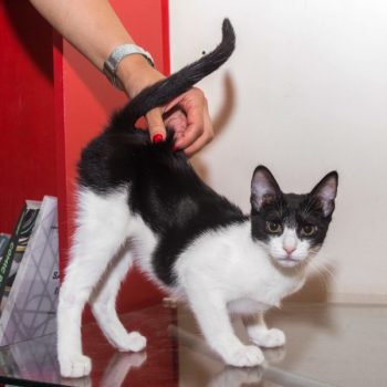 A black and white kitten arches his back to receive pats.