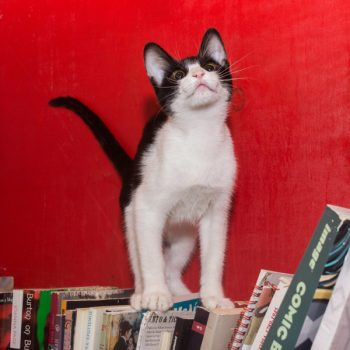 A black and white kitten sitting on books in a red bookcase seems about to pounce on something above him.