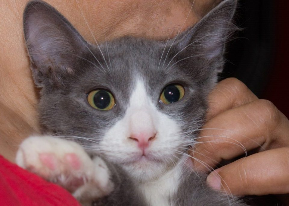 A close up of a cute white and grey kitten in the arms of a woman, showing us his pink paws.