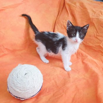 A tiny black and white kitten is standing on an orange sheet next to a rope toy.