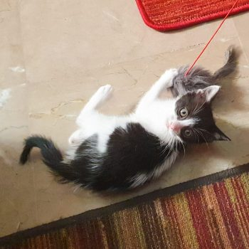 A fluffy black and white kitten is playing with a mouse toy while looking to the camera.