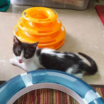 A cute black and white kitten is lying on a marble floor next to a blue and an orange white puzzles and is looking us straight ahead.