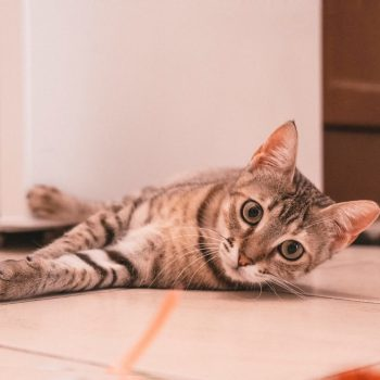 A brown tabby with long moustache is lying on the floor and looks into the camera.
