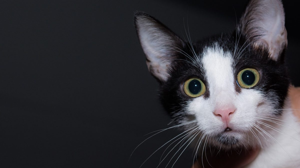 A close up of a black and white cat with pink nose and yellow round eyes with a suprised look on her face.