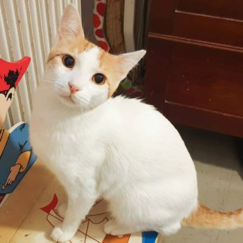 A sweet young cat, white with some orange on his head, looks at us.