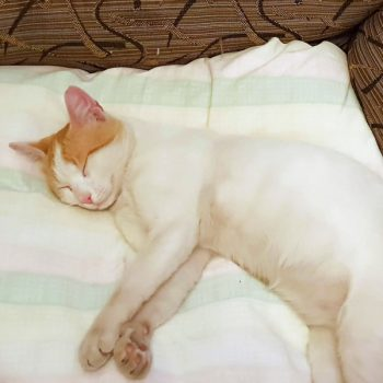 A lovely cat who is white with some peach markings on his head, sleeping peacefully.