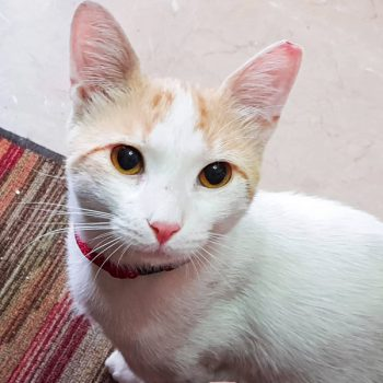 A head shot of a sweet young white cat with some peach markings on his face.