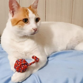 A beautiful white cat with orange head markings lying with his red toy.