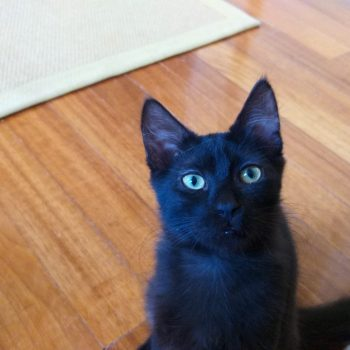 A black kitten with green eyes is looking into the camera.