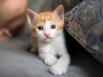 A photo of a sweet white and orange kitten
