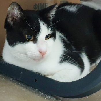 A sweet looking black and white cat