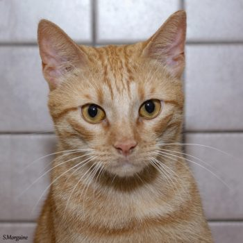 The head and shoulders of an orange cat with matching orange eyes
