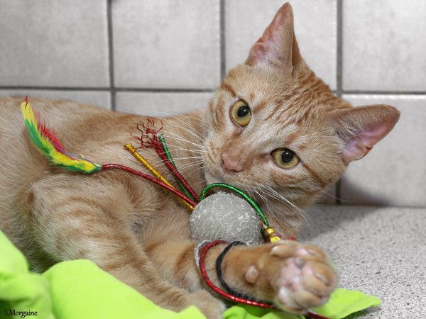 A ginger cat lying with his cat toys