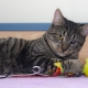 A tabby cat with a damaged eye lies with with its feathered toys