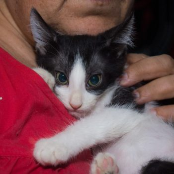 A cute tuxedo kitten is looking into the camera while hugging tightly his human.