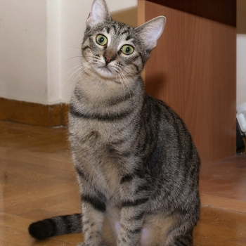 A tabby cat sitting up and looking at us with her green eyes