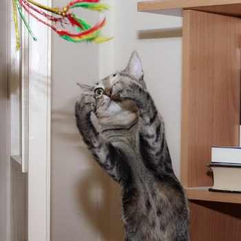 A tabby cat reaching up to play with a feather toy