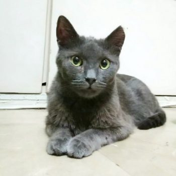 A blue-grey cat with green eyes looking into the camera