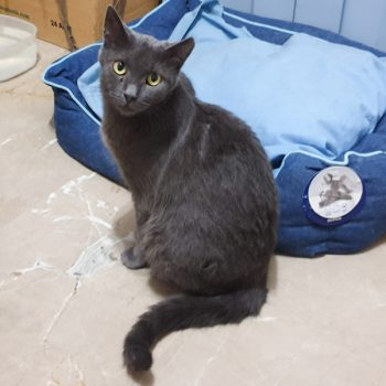A dark blue-grey cat sitting up outside of her bed.
