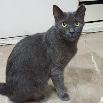 A dark blue-grey cat with yellow eyes sitting on a marble floor.