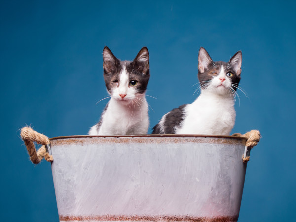 An adorable pair of black and white kittens, both missing their right eye, sitting in a metal planter
