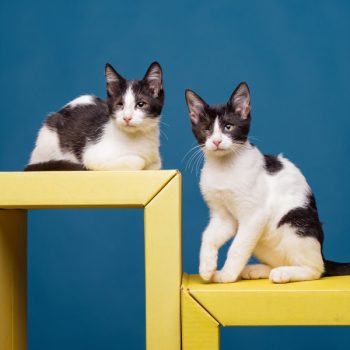 Two black and white one-eyed kittens sitting on yellow benches with a dark blue wall behind them