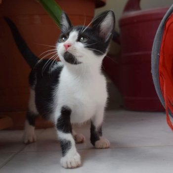 A cute tuxedo kitten with green eyes and black beard is looking up while standing on a marble floor.