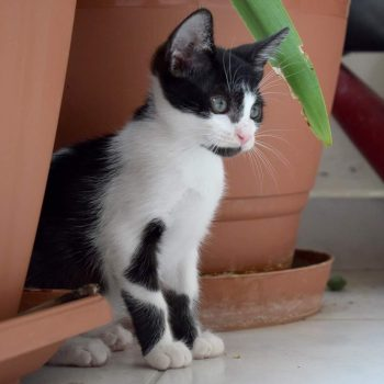 A tuxedo kitten with a black beard, pink nose and green eyes is looking into the distance from between plant pots.