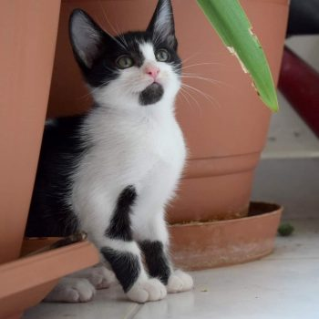An adorable black and white kitten with pink nose and green eyes is standing in between plant pots looking up to the camera.