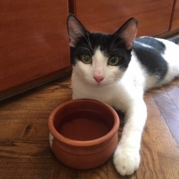 A sweet looking tuxedo cat is lieing on the floor with a water bowl in front of her.