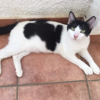A beautiful black and white cat with green eyes and pink nose is looking into the camera while lying on the floor.